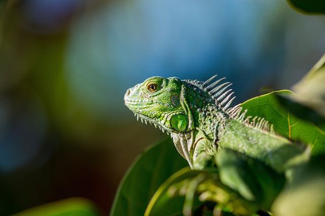 Social Media Marketing For Pet Stores Iguana Photo