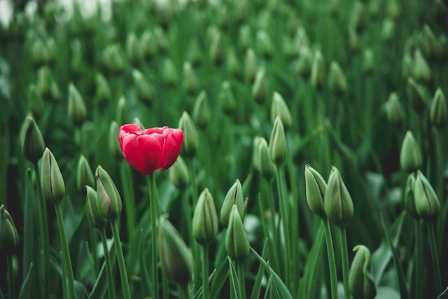 Red tulip blooming in field
