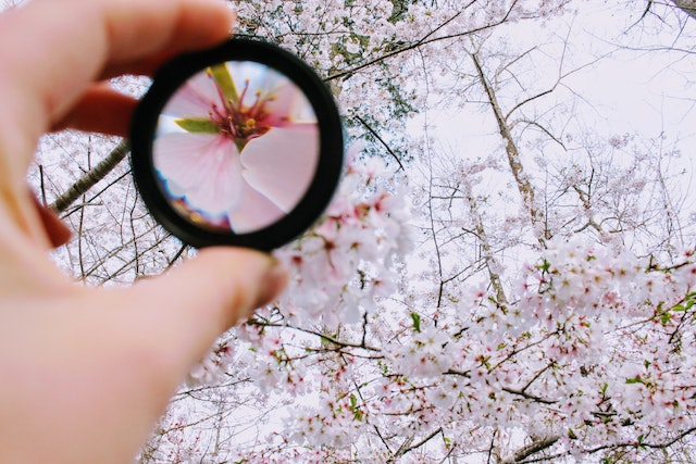 Lens focusing on cherry blossom