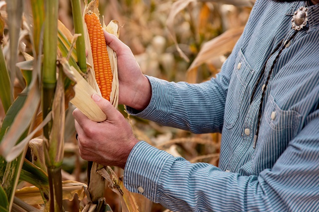 Evan Rocheford Shucking Orange Corn