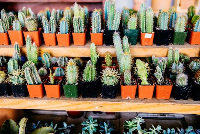Ponderosa Cactus Selection