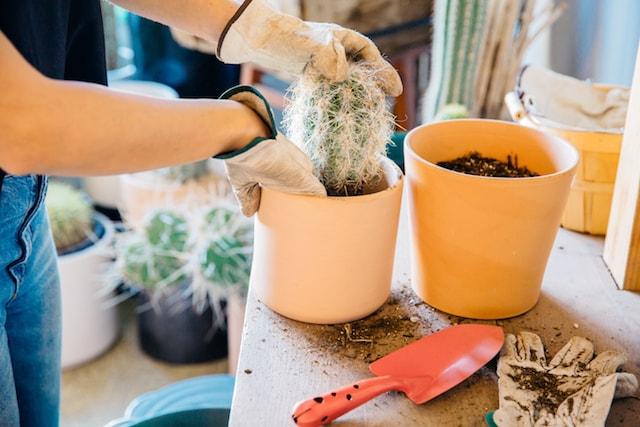 Ponderosa Cactus Touching