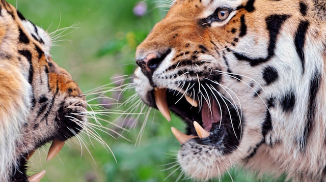 Best Political Blogs Snarling Tigers