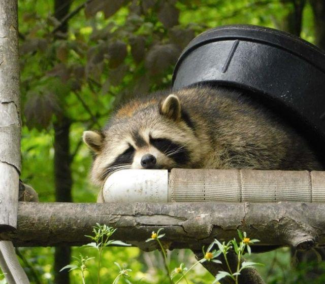Comfortable Racoon Sleeping