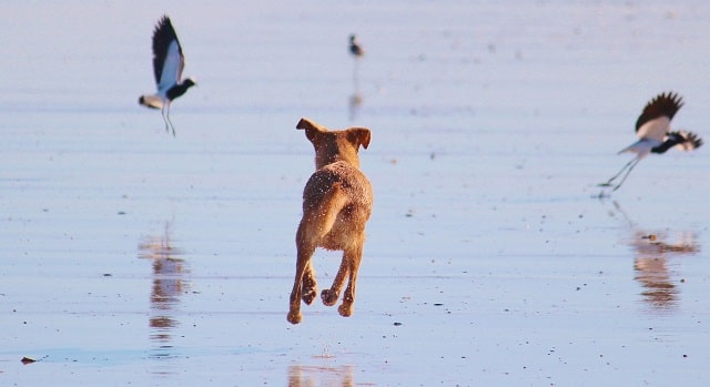 Dog Chasing Birds On The Beach