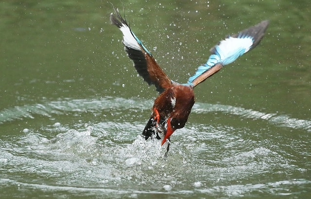 Kingfisher Catching Fish