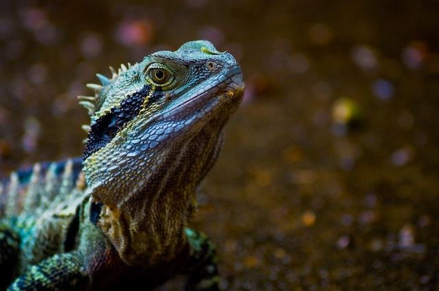 Vet Blog Lizard
